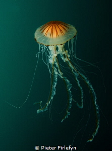 jellyfish by Pieter Firlefyn