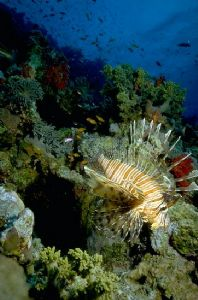 Lionfish descending - Red Sea - 17mm lens & Nikonos IV by george perina
