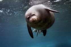 Hawaiian Monk Seal photographed on the North Shore of Oah... by Glenn Poulain