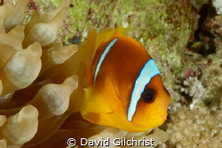 A Red Sea Anemonefish ( Amphiprion bicinctus) poses in it... by David Gilchrist