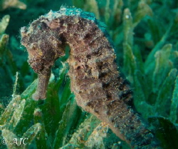 Black Seahorse found in Bannerfish Bay, Dahab. by Alexandra Caine