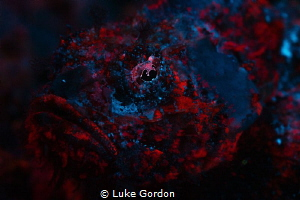 Scorpionfish Fluorescence by Luke Gordon