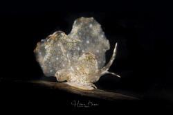 Butterfly Nudibranch by Hakan Basar