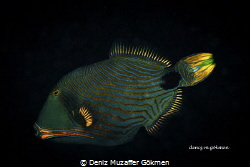 Lovely Triggerfish