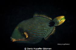 Lovely Triggerfish Tulamben  Canon 80d by Deniz Muzaffer Gökmen