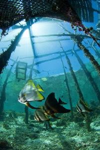 Batfish under Arborek jetty, Raja Ampat. by Filip Staes