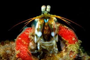 Peacock mantis shrimp, Puerto Galera, The Philippines. by Filip Staes