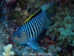 A Zebra Angelfish or Lyretail Angelfish (Genicanthus caud... by David Gilchrist