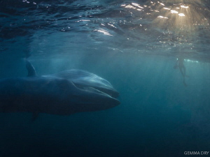 A diver chills on the surface as a Bryde's Whale makes an... by Gemma Dry