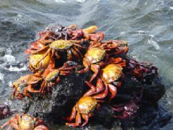 red crabs in Galapagos by Guja Tione