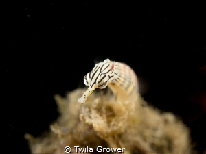 Pipefish by Twila Grower