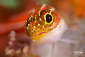 """I've got my eye on you"", striped triplefin(Helcogramma s... by Filip Staes"