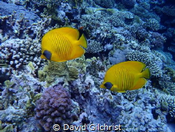 A pair of Masked Butterflyfish in the Red Sea. by David Gilchrist