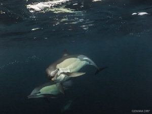 Common dolphins checking me out on the Sardine Run. The s... by Gemma Dry