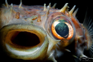 """The scream"" - Porcupinefish - Lembeh. by Filip Staes"
