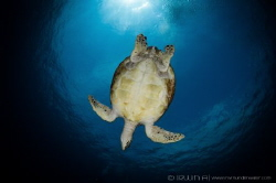 B L U E - P L A N E T Green sea turtle (Chelonia mydas)... by Irwin Ang
