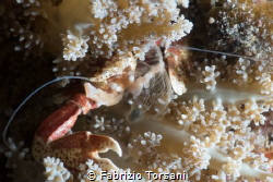 An eating porcelain crab by Fabrizio Torsani
