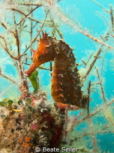 Seahorse at Blue Heron Bridge by Beate Seiler
