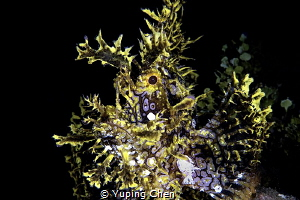 Scorpionfish/Ambon,Canon 5D MarkIII, 100mm macro Lens, In... by Yuping Chen