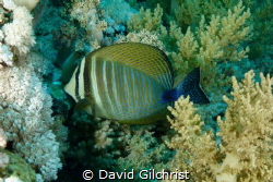 Red Sea Sailfin Tang(Zebrasoma djardinii). by David Gilchrist
