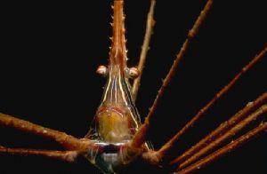 Grumpy Arrowcrab - Night dive - Roatan - 1:3 ext tubes by joanna perina