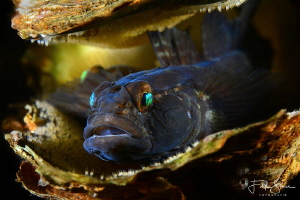 black goby with eggs(Gobius niger), Zeeland, The Netherla... by Filip Staes