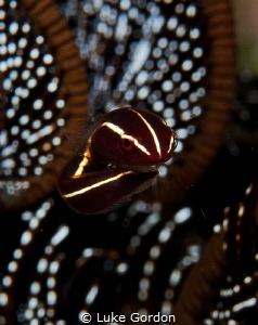 The Floater - This tiny crinoid clingfish decided my lens... by Luke Gordon
