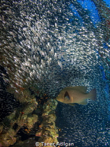 Marine life inside Carnatic Wreck (Glass fish and red mou... by Taner Atilgan