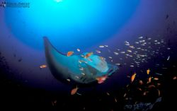 Manta ray getting cleaned at Manta reef Guinjata Bay cent... by Fiona Ayerst