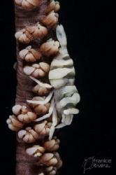 Whip Coral Shrimp by Frankie Rivera