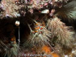 A huge hermit crab by Fabrizio Torsani
