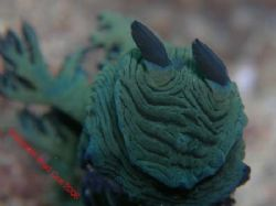Wrinkly: Close up Nudi Camp Rock Quobba West Aust Olympus... by Brad Cox
