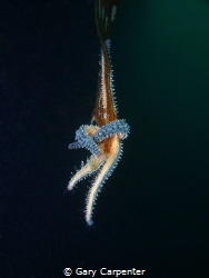 Hanging on, Spiny starfish (Marthasterias glacialis) - Pi... by Gary Carpenter