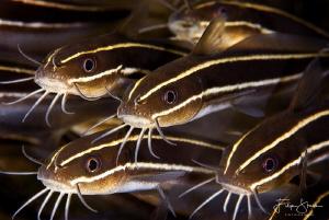 striped eel catfish, Seraya, Bali. by Filip Staes