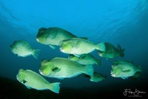 Bumphead parrotfish, Tulamben, Bali. by Filip Staes