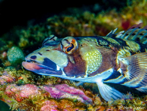 Close up shot of a colorful Sandperch in Puerto Galera, P... by Norm Vexler