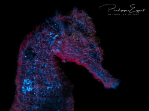 Seahorse in the magic of fluorescence by Philippe Eggert