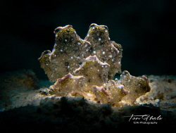 CENTURY MABLES Cyerce sp. / bourbonica Nudibranch by Ton Ghela