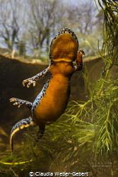 dancing mountain newt ... by Claudia Weber-Gebert