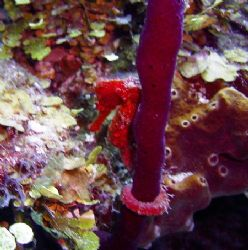 This seahorse was seen in Roatan, The photo was taken wit... by Bonnie Conley