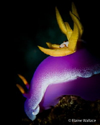Not the best hypselodoris bullockii pose, but the commens... by Elaine Wallace