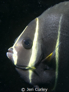 Juvenile angel fish on the artificial reef at Blue Heron ... by Jeri Curley