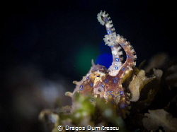 Octopus wants to FIGHT!! Canon 6d, 100mm macro, InonZ240 by Dragos Dumitrescu
