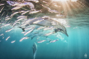 """""""The Chase""""  Image of a common dolphin hunting down a s... by Allen Walker"""