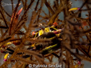 """""""Embedded"""" This crab moved into the gorgonian to avoid b... by Patricia Sinclair"""