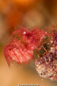 Hairy shrimp which likes to be photographed. by Mehmet Salih Bilal