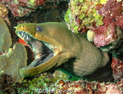 green moray by John Loving