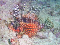 Lion Fish at 20ft!Maeda Point Okinawa, Japan. by Andrew Page