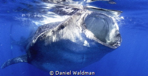 Whale Shark Close up and personal feeding on Bonita eggs by Daniel Waldman