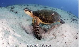 Turtle posing by Daniel Waldman